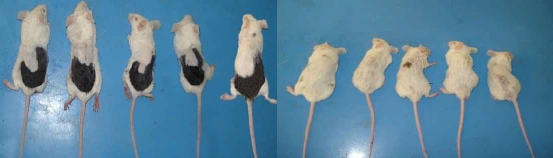 העכברים שעשו עליהם ניסוי במינוקסידיל תמונת האחרי