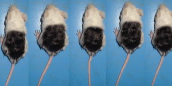 עכברים שצבעו את החלק העליון של גופם בשביל ניסוי מינוקסידיל