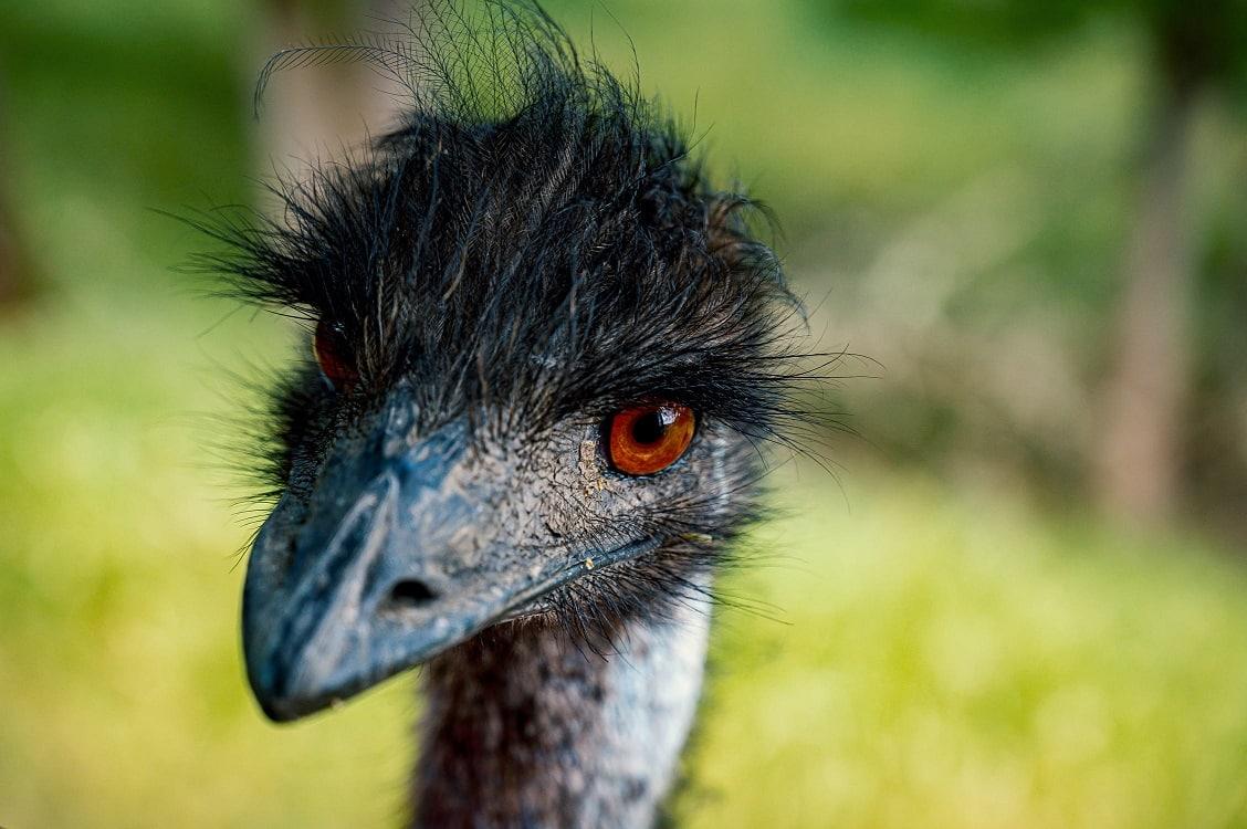 פנים של ציפור אמו