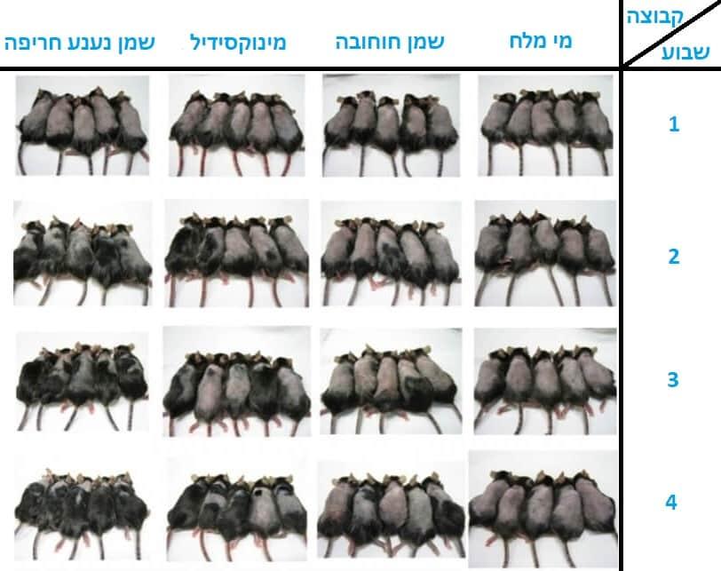 תוצאות הניסוי של שמן נענע חריפה על עכברים