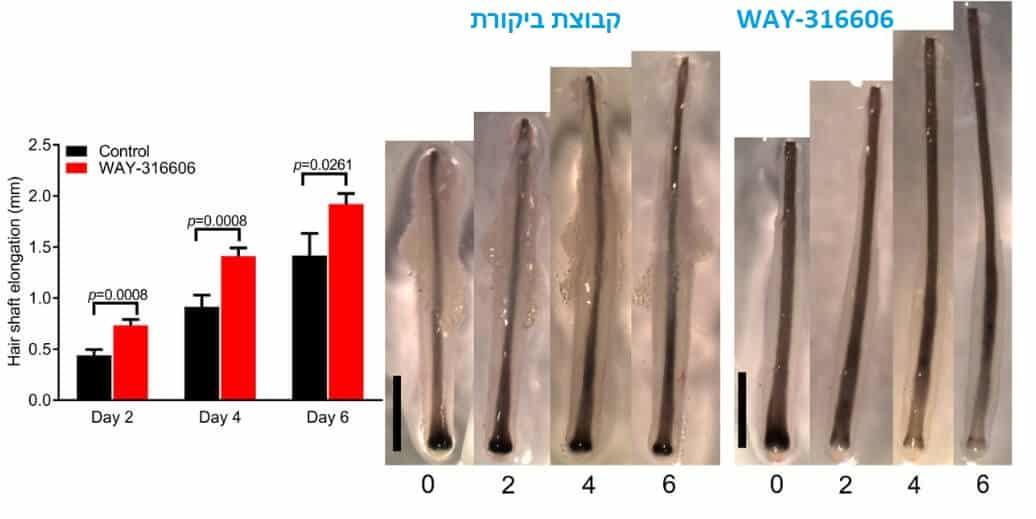 תוצאות של טיפול בנשירת שיער עם WAY-316606 אחרי 6 ימים