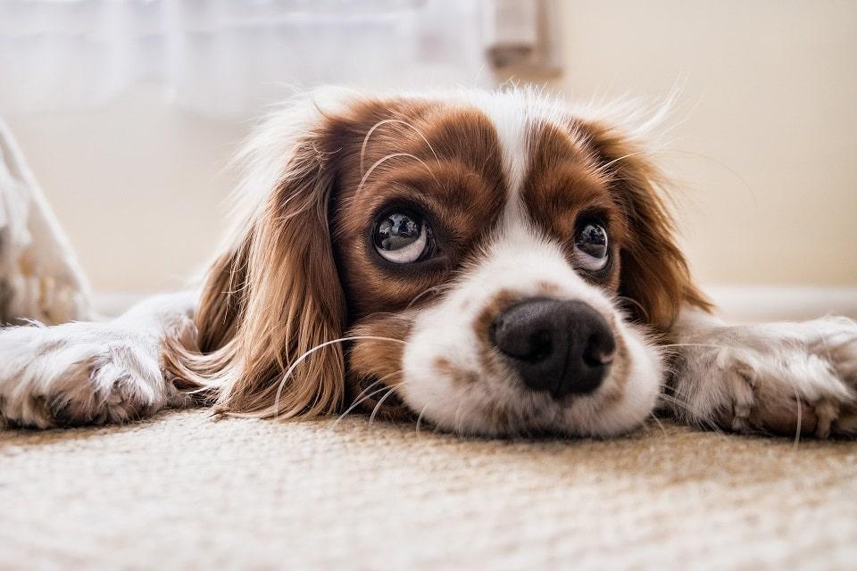 גור כלבים שוכב על השטיח מביט למעלה ומחכה