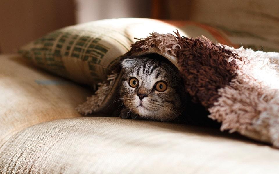 חתול מתחבא מתחת לשמיכה ליד כרית על המיטה