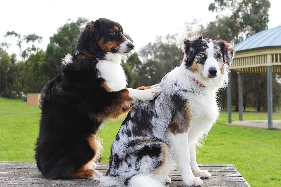 כלב שחור חום עושה מסאג' בגב לכלב לבן